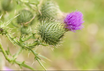 Thistle Sept